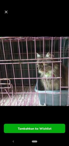 Kucing Betina Persia Medium
