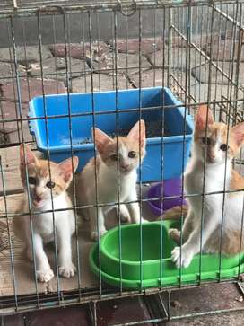 Free Adopt Kitten Lokal