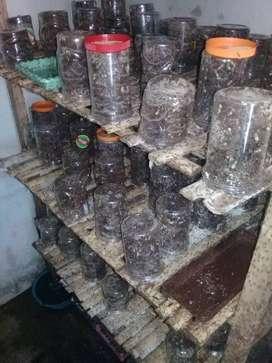 ternak semut penghasil kroto