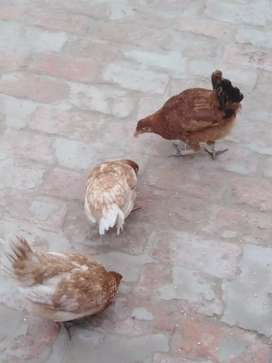 2 Desi hens and 1 cock