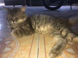 kucing persia drpda ga ke urus mending nyari org yg mw urus