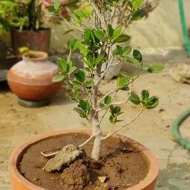 Gardening plant
