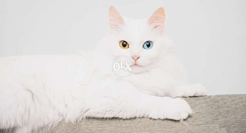 Male cat For cross(not for sale) Odd eyes pure white persian 3 coated 0