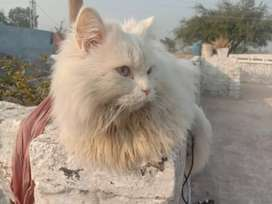 Pure Persian Cat