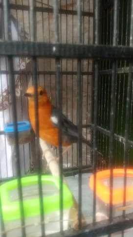 Jual burung laki anis merah dari jawa