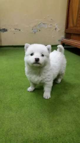 Russian pups for sale