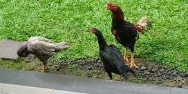 Ayam babon bangkok klasik