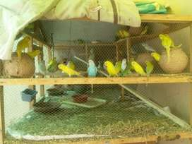 Australian birds,cage,redeyes,fancy pigon,cage