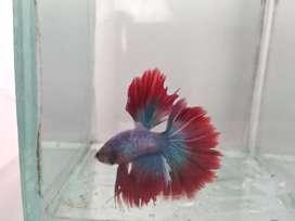Ikan Cupang Halfmoon Rosetail blue red