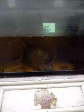Ikan louhan dan aquarium