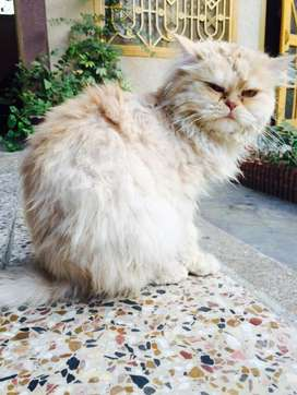 Punch face persian lion hair