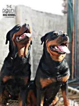 Rottweiler pair for sale