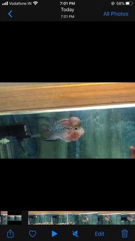 Fowerhorn fish