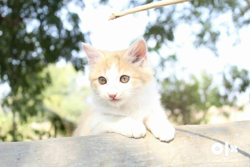 White and brown tabby Persian kitten 0