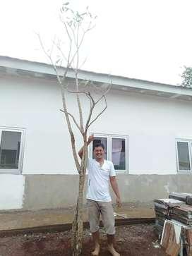 Supplier tanaman dan pohon pelindung-jual pohon tabebuya tinggi 4-5m