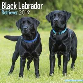 Labrador young pair forsale
