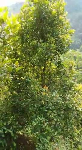 Di Sewakan/Di Kontrakan Pohon Cengkeh kurang lebih 300 Pohon