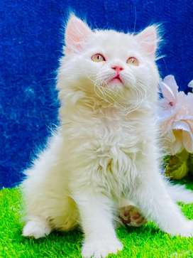 Persian kitten male