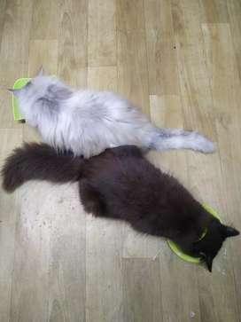 Jual borongan persia free 3 kitten
