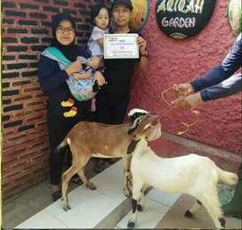 Kambing Jawa Harga Satu Jutaan Pas Mantap Untuk Kurban dan Aqiqah