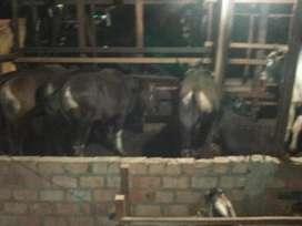 Jual sapi bali sehat dan gemuk