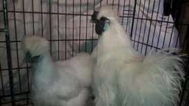White silky pair for sale