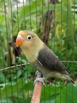 Lovebird PB Mouve Cantik