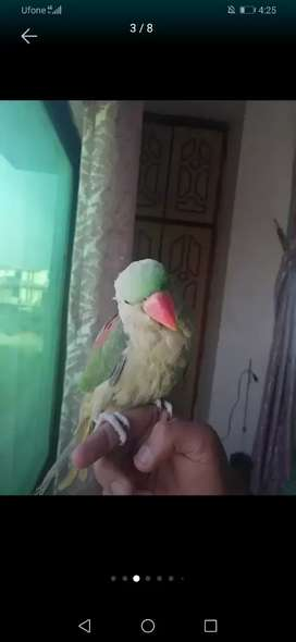 Female raw parrot 9 months age playful active and healthy