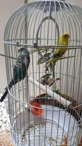 Jual burung parkit