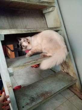 kucing persia mix himalaya