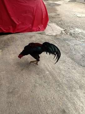 Di jual ayam jantan bangkok petarung