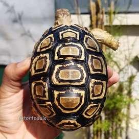 Kura-kura Darat Leopard Pardalis Tortoise 11,5 cm