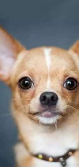 Jual anjing Chi wawa yg sdh pintar