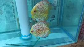 Checkerboard Discus Pair
