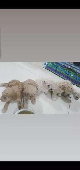 Jual cepat toy poodle 2 betina dan 1 jantan