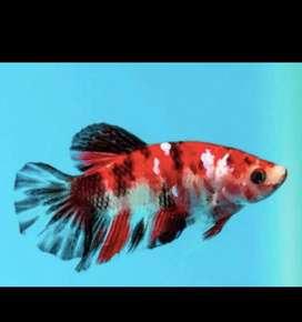 Betta fishes