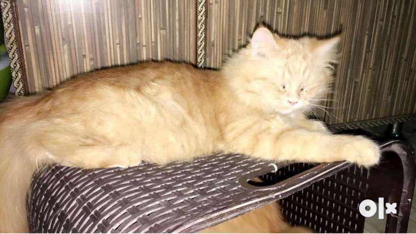 Persian cat 0