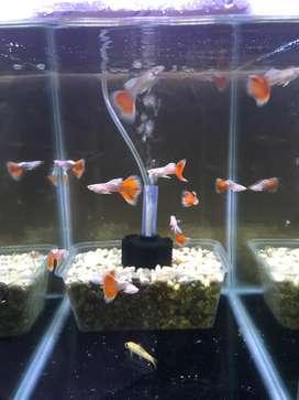 Ikan Guppy Jenis Albino Skyred
