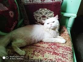 Male cat for matting... Blue eye....