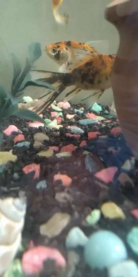 Shipping king goldfish for sale