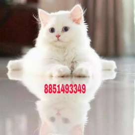 Pure friendly Persian kittens available
