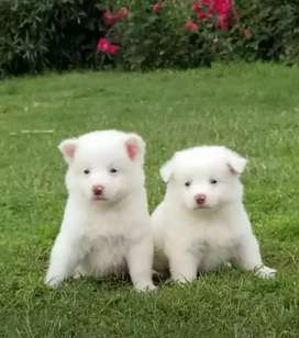 Russian pups pair pure white