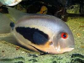 Ikan Hias Uaru jumbo 19cm