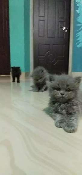 Persian grey kitten