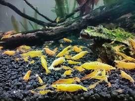 Golden back yellow shrimps