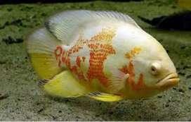 Ikan oscar Tiger albino