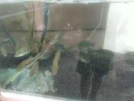 Ikan pbass orinoco hybrid
