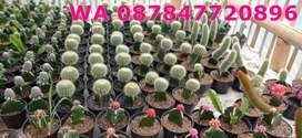 Produsen Kaktus Mini