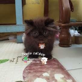 Kucing Persia peaknose jantan umur 2,5 bulan