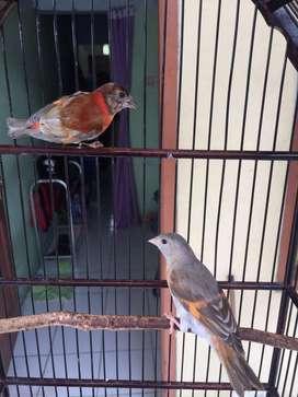 Burung res siskin 2 pasang
